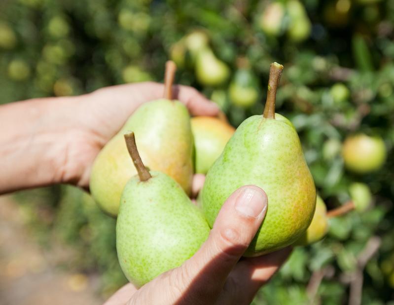 Récolte des poires du Valais dans la plaine du Rhône.